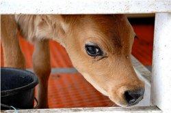 В Китае у клонированной коровы родился здоровый теленок
