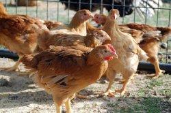 Противодействие тепловому стрессу в птицеводстве