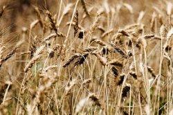 Создан новый сорт пшеницы с рекордной урожайностью