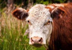 Развитие молочного скотоводства в России