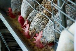 Благосостояние птицы улучшается при добавлении в рационы биодоступного цинка