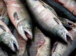 В России могут ввести запрет на госзакупки импортной рыбы